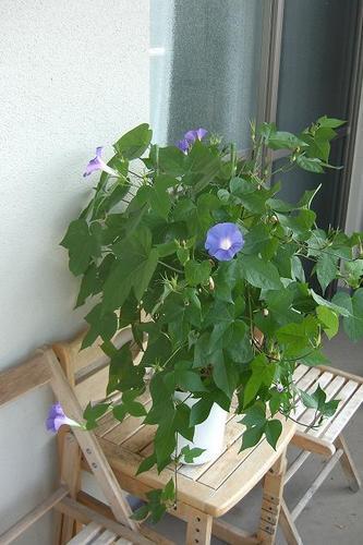 昨年朝顔盆栽.JPG