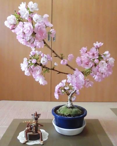 1才桜.jpg